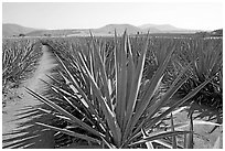 Agave field cultivated to make Tequila. Mexico ( black and white)