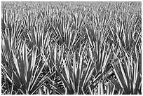 Blue agaves near Tequila. Mexico ( black and white)