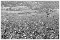 Agave plantation and tree. Mexico ( black and white)