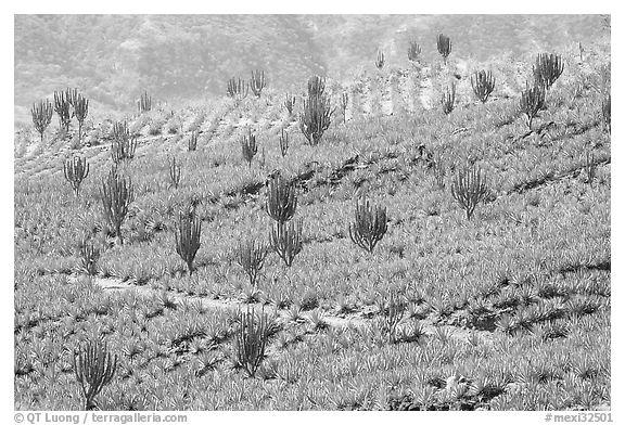 Cactus amongst agave field. Mexico