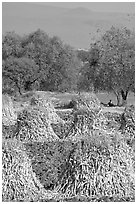 Man sitting beneath a tree near a field with stacks of corn hulls. Mexico ( black and white)