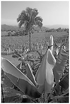 Banana trees, palm tree, and tobbaco field. Mexico ( black and white)
