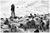 Man and girl feeding water to a hard of sheep, Judean Desert. West Bank, Occupied Territories (Israel) ( black and white)