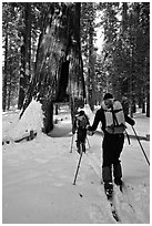 Skiers approaching the California Tunnel Tree, Mariposa Grove. Yosemite National Park, California (black and white)