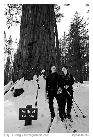 Skiers in front of the tree named Faithful couple tree in winter. Yosemite National Park, California