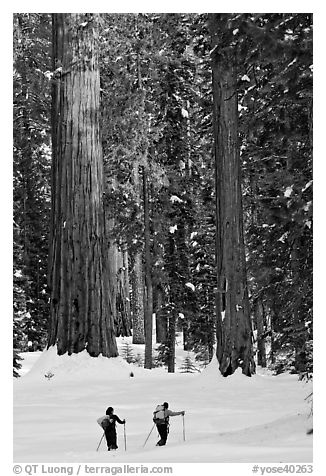 Cross-country  skiiers at the base of Giant Sequoia trees in Upper Mariposa Grove. Yosemite National Park, California