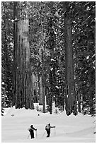 Cross-country  skiiers at the base of Giant Sequoia trees in Upper Mariposa Grove. Yosemite National Park, California (black and white)