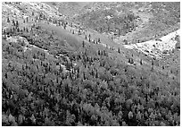 Hillside with Aspens in fall colors and fresh snow. Denali National Park, Alaska, USA. (black and white)
