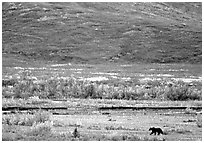 Grizzly bear on river bar. Denali National Park, Alaska, USA. (black and white)