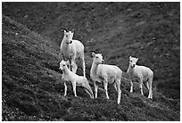 Pictures of Dall Sheep