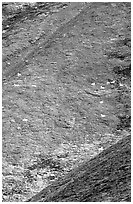 Hillside with many distant  Dall sheep. Denali National Park, Alaska, USA. (black and white)