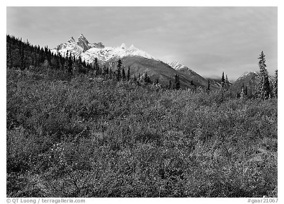 Red tundra shrubs and Arrigetch Peaks in the distance. Gates of the Arctic National Park, Alaska, USA.