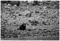 Black bear digging for clams. Glacier Bay National Park, Alaska, USA. (black and white)
