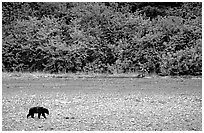 Grizzly bear on beach. Glacier Bay National Park, Alaska, USA. (black and white)
