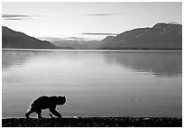 Alaskan Brown bear (Ursus arctos) on the shore of Naknek lake. Katmai National Park ( black and white)