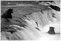 Salmon leaping and Brown bears fishing at the Brooks falls. Katmai National Park, Alaska, USA. (black and white)
