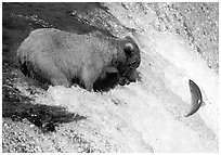 Alaskan Brown bear trying to catch leaping salmon at Brooks falls. Katmai National Park, Alaska, USA. (black and white)