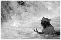 Alaskan Brown bear (Ursus arctos) fishing at the base of Brooks falls. Katmai National Park, Alaska, USA. (black and white)