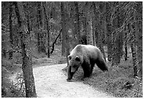 Brown bears encounters on trail are frequent at Brooks camp. Katmai National Park, Alaska, USA. (black and white)