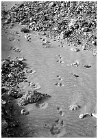 Close-up of animal tracks in fine ash, Valley of Ten Thousand smokes. Katmai National Park, Alaska, USA. (black and white)