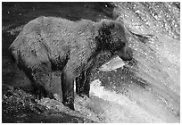 Brown bear holding in mounth  salmon at Brooks falls. Katmai National Park ( black and white)