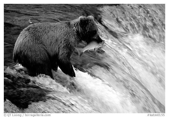 Alaskan Brown bear with catch  at Brooks falls. Katmai National Park (black and white)