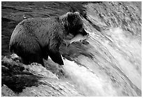 Alaskan Brown bear with catch  at Brooks falls. Katmai National Park, Alaska, USA. (black and white)