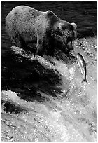 Brown bear (Ursus arctos) and leaping salmon at Brooks falls. Katmai National Park, Alaska, USA. (black and white)