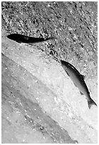 Leaping salmon at Brooks falls. Katmai National Park, Alaska, USA. (black and white)