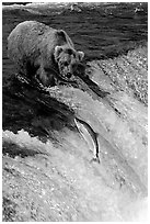 Brown bear watching a salmon jumping out of catching range at Brooks falls. Katmai National Park, Alaska, USA. (black and white)