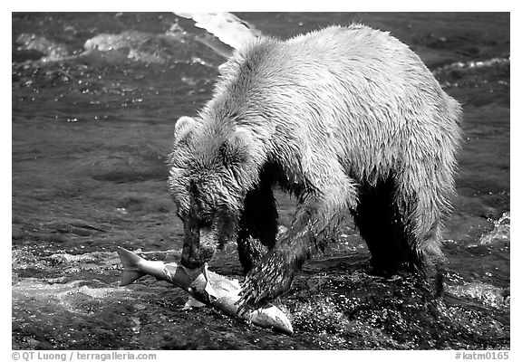 Brown bear (scientific name: ursus arctos) eating salmon at Brooks falls. Katmai National Park, Alaska, USA.