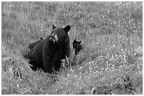 Black bear with cubs. Kenai Fjords National Park, Alaska, USA. (black and white)