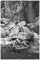 Stellar sea lions hauled out on rock. Kenai Fjords National Park ( black and white)