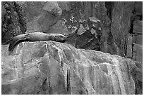 Stellar sea lion sleeping on rock. Kenai Fjords National Park, Alaska, USA. (black and white)