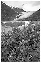 Dwarf fireweed and Exit Glacier. Kenai Fjords National Park, Alaska, USA. (black and white)