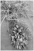 Dune plants. Kobuk Valley National Park, Alaska, USA. (black and white)