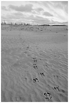 Animal tracks on the Great Sand Dunes. Kobuk Valley National Park, Alaska, USA. (black and white)