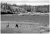 Young caribou on the shores of the river. Kobuk Valley National Park, Alaska, USA. (black and white)
