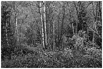 Northern trees and undergrowth with fall foliage. Lake Clark National Park ( black and white)