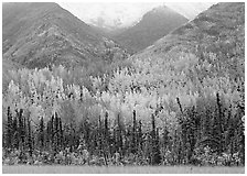 Mountain sloppes with aspens in different stages of autumn colors. Wrangell-St Elias National Park, Alaska, USA. (black and white)