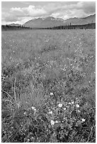 Meadow with tussocks and wildflowers. Wrangell-St Elias National Park, Alaska, USA. (black and white)