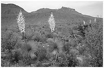 Yucas in bloom. Big Bend National Park, Texas, USA. (black and white)