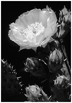 Pickly pear cactus flower. Big Bend National Park, Texas, USA. (black and white)