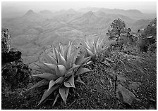 Agaves on South Rim. Big Bend National Park ( black and white)