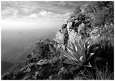 Agaves on South Rim, morning. Big Bend National Park ( black and white)