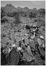 Cactus with yellow blooms and Chisos Mountains. Big Bend National Park ( black and white)