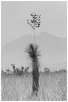 Dagger Yucca past bloom and Chisos Mountains. Big Bend National Park ( black and white)