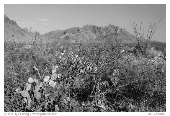 Desert vegetation and Chisos Mountains. Big Bend National Park, Texas, USA.