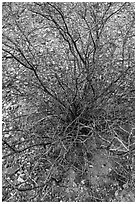 Creosote bush, most drought tolerant perennial in North America. Big Bend National Park ( black and white)