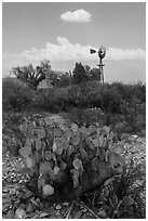 Cactus, windmill, and cottonwoods, Dugout Wells. Big Bend National Park ( black and white)